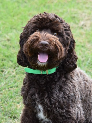 picture of one of our labradoodle males
